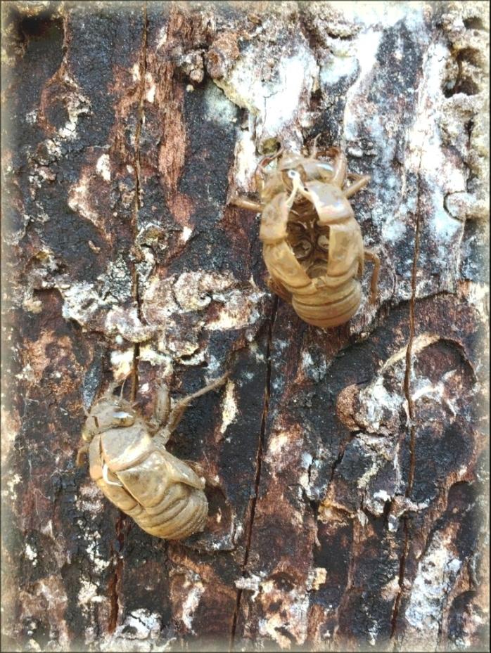 cicada-4.jpg