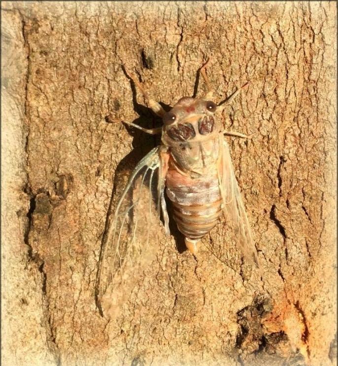 cicada-5.jpg